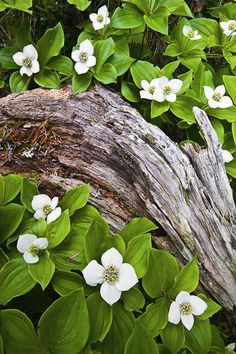 "Cornus canadensis (Bunchberry) - h6"" x spreading - Part Shade, Full Shade - Lush groundcover studded with miniature white Dogwood flowers in early spring. Berries in fall, that you can make jelly or jam with. Needs moist, acidic, well draining soil to establish. Zone 2. Benefits: MN Native."