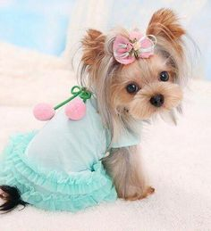 Discover The Brave Yorkshire Terrier Dog Health Cute Dogs And Puppies, Baby Dogs, I Love Dogs, Pet Dogs, Pets, Cute Small Animals, Cute Baby Animals, Animals Beautiful, Yorshire Terrier