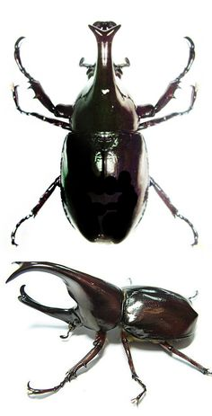Xylotrupes florensis Beetle Insect, Beetle Bug, Cool Insects, Bugs And Insects, Bees And Wasps, June Bug, Animal Species, Cute Funny Animals, Beetles