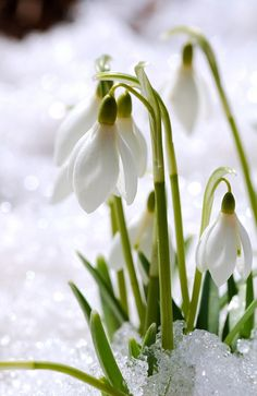 Here it is nearly April, and we're finally seeing Snowdrops blooming here in the northeast!