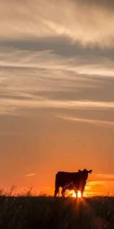 Vertical panoramic photo print or framed photo of an Angus cow at sunset. Cattle silhouette photo against an orange sky. Black Angus cow at sunset panoramic photo angus cattle Farm Photography, Animal Photography, Panoramic Photo Prints, Farm Animals, Cute Animals, Photos Panoramiques, Photos Encadrées, Photos Of Cows, Cow Pictures