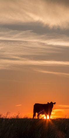 Sunset Angus cow panoramic photo  black by TeriJamesPhotography