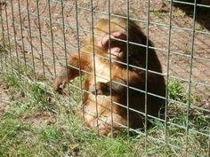 An obese gibbon