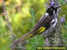 australian birds pictures: New Holland Honeyeater. A frequent visitor to my garden in NSW. A lovely call and flits from Honey filled flower and then splashes in a water filled bird bath. Pretty Birds, Love Birds, Beautiful Birds, Australian Honey, Australian Birds, Birds In The Sky, Small Birds, New Holland Honeyeater, Australia Animals