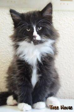 Beautiful Norwegian Kitten (Tree House Norwegians)