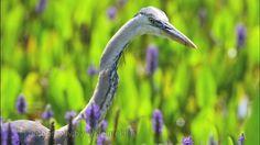 Viera Wetlands Wildlife video by Bill Kleinfelder. Slideshow of various wildlife photos and video taken at Viera Wetlands Florida Wildlife, Florida, Photo And Video, Places, Photos, Photography, The Florida, Pictures, Fotografie