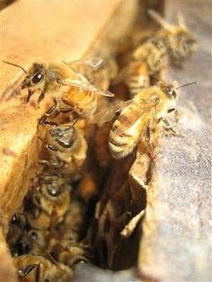 I want a honey bee farm:). Honey Uses, Bee Farm, Future Farms, Funny Farm, Farms Living, Down On The Farm, Hobby Farms, Save The Bees, Bee Happy
