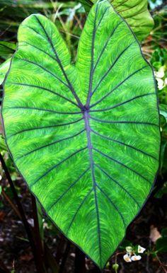 colocasia esculenta 'blue hawaii'