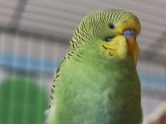 Pet Bird Cage, Different Types, Parakeets, Interesting Information, Beautiful Birds, Habitats, Facts, Pictures, Tips