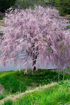 Image Result For Dwarf Weeping Cherry Tree Garden Shrubs Trees Lawn And