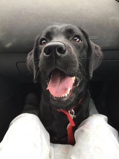 Labrador retrievers regularly top the list of most popular dog breeds. These smart, social dogs are known for their amiable temperaments and their patience. Traditionally bred as hunting dogs, Labs also. Black Lab Puppies, Cute Puppies, Cute Dogs, Dogs And Puppies, Doggies, Labrador Retrievers, Black Labrador Retriever, Labrador Yellow, Most Popular Dog Breeds