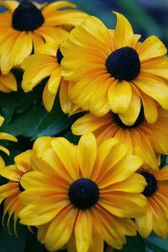 flowersgardenlove:  Rudbeckia, Black Eye Beautiful