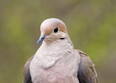 Volunteer Jerry Cannon captured some wonderful details in this dove's feathers. (photo taken at Firestone Metro Park)