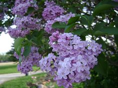 Old-Fashioned Lilacs, I have 2 lilac trees and they smell amazing! :)