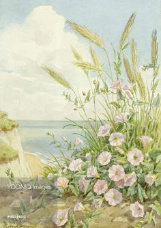 Sea Bindweed growing in a coastal setting. Margaret Tarrant