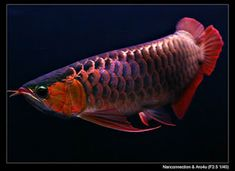 Dragon Fish Arowana Beauty