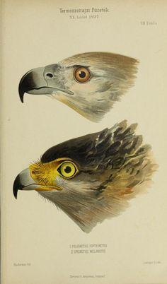 20.kt. (1897) - Természetrajzi Füzetek kiadja a Magyar nemzeti Muzeum. - Biodiversity Heritage Library