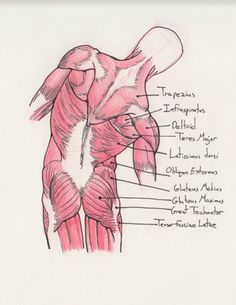 Muscles in the Back. Because human anatomy is awe inspiring! Yoga Anatomy, Anatomy Study, Anatomy Drawing, Anatomy Art, Anatomy Reference, Nursing School Notes, Human Anatomy And Physiology, Medical Anatomy, Muscle Anatomy