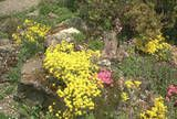 Aurinia saxatilis in a rock garden.  Drought tolerant and used as ground cover