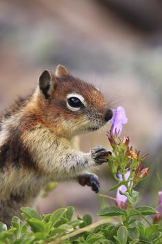Stop And Smell The Flowers by Cliff LeSergent on A golden-mantled ground squirrel about to eat a wildflower Animals And Pets, Baby Animals, Funny Animals, Cute Animals, Funny Squirrel Pictures, Pictures Of Squirrels, Beautiful Creatures, Animals Beautiful, Cute Squirrel