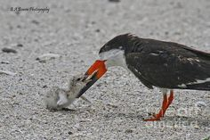 It is great to watch the Black Skimmer parents. Not only do they lure the chick out of the nest before they feed them. They challenge them physically and make them reach for it! This few day old chick made a successful grab on the third try.