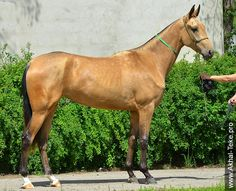 Akhal-teke horses for sale. Another good specimen for the more sporty typed Akhal-teke.