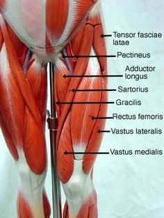 leg muscle model labeled - Bing Images