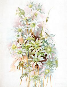 Actinotus helianthi (Flannel Flower), by Margaret Flockton, Australian Wildflowers, Australian Native Flowers, Australian Bush, Watercolor And Ink, Watercolor Flowers, Botanical Prints, Botanical Gardens, Love Flowers, Wild Flowers