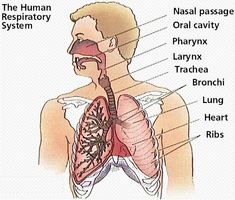 """Respiratory system - Nose, pharynx, larynx (""""voice box""""), trachea (""""windpipe""""), bronchial tubes, lungs (where the exchange of gases takes place)."""