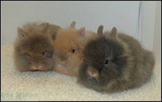 Lion head rabbit Animals And Pets, Funny Animals, Cute Animals, Baby Bunnies, Cute Bunny, Lionhead Rabbit, Rabbit Breeds, All Things Cute, Woodland Creatures