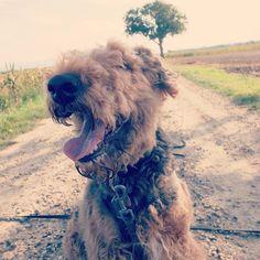 #Sunday makes me #smile! I wish you all a wonderful day! . . . . #happydog #happydogs #smilingdog #smilingdogs #dogsarejoy #happyairedale #smilingairedale #airedales #airedaleterrier #airedalesofinstagram#terriers #Airedale #terrier #terrierlove #terriersofinstagram #dogoftheday8 #fujifilmx30 #ilovemydog #ilovemydogs #ilovemydoggy #ilovemydogsomuch #doglover