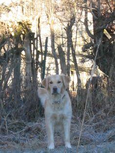 My Golden retriever Aïba in our Garden Winter 2004