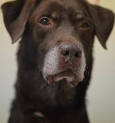 SUPER URGENT 8/30/14 Manhattan Center APOLLO - A1012445 I am an unaltered male, brown Labrador Retriever. The shelter staff think I am about 10 years old. I was found in NY 10455. I have been at the shelter since Aug 30, 2014. https://www.facebook.com/Urgentdeathrowdogs/photos/a.617942388218644.1073741870.152876678058553/862900940389453/?type=3&theater