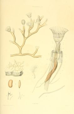Fredericella sultana. A monograph of the fresh-water polyzoa London :Ray Society,1856. Biodiversitylibrary. Biodivlibrary. BHL. Biodiversity Heritage Library