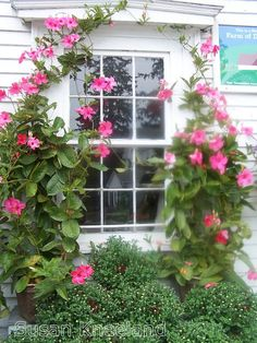 Mandevilla/ a must for any garden...I had one and they are wonderful for flowering/healthy plant/ bloom time./  took a small one I had indoors for the winter (zone 5) and it is growing and healthy. I will take it out when good weather comes again.   I would think they would make a GREAT hanging basket.