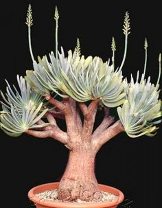 Amazing Unusual Plants To Grow In Your Garden Succulent Bonsai, Bonsai Plants, Cacti And Succulents, Planting Succulents, Cactus Plants, Garden Plants, House Plants, Planting Flowers, Unusual Plants