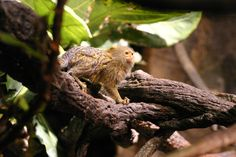 The pygmy marmoset is the world's smallest monkey.