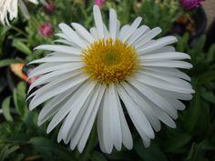 Alpine aster (Aster alpinus) uploaded by Paul2032
