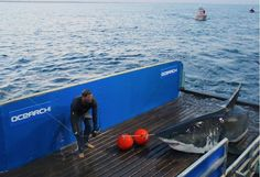 Huge great white shark just off Long Island, but who'll let swimmers know?  Read more at http://www.grindtv.com/wildlife/huge-great-white-shark-just-off-long-island-but-who-will-let-swimmers-know/#GJvwV21QgHwrbfgA.99