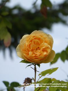 David Austin rose in my garden
