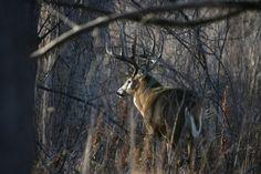White tail deer buck Colorado