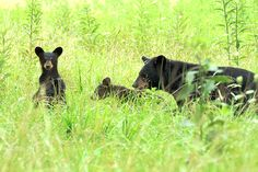 Black Bears in the beautiful #Smoky #Mountains