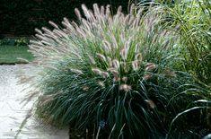 Pennisetum alopecuroides 'Woodside'