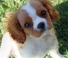 Cavalier King Charles Spaniel puppy.