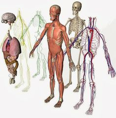 human anatomy and physiology  anatomy and physiology and human    human anatomy and physiology diagrams  the structure of human body
