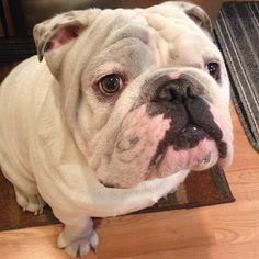 Dirty #englishbulldog #igbulldogs_worldwide #bullylife #bulldog…