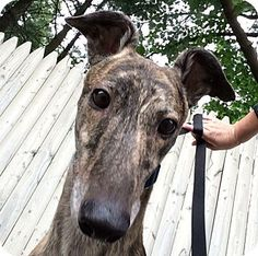 Greyhound Dog for adoption in Swanzey, New Hampshire - Cyrus