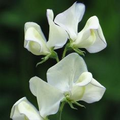 Sweet Pea Greenfingers Kings Seed Range - Irish Plants Direct