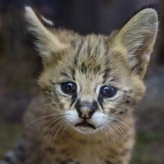 Kitten Face | Female Serval Kitten born May 21st, 2015 to mom Onshe (pic by Penny Hyde)