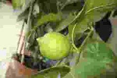 """Com casca brilhante, fina e coloração que vai do roxo claro ao escuro - quasepreto -os frutos da jabuticabeira são bem mais saborosos do que podem aparentar. As """"bolinhas"""" de um a três centímetr"""